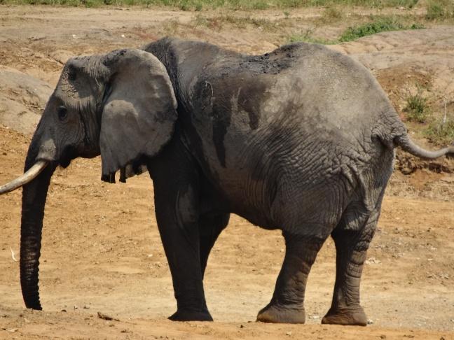17-1-elefant