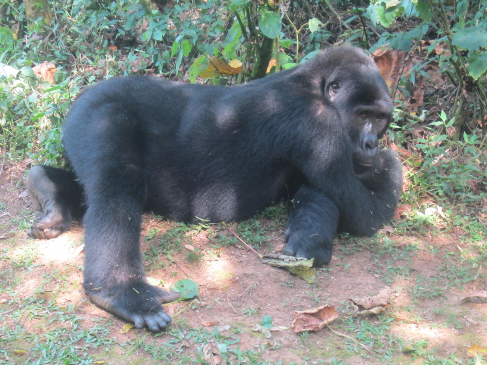 17-1-gorilla