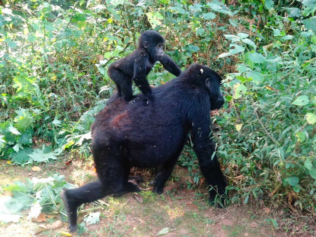 17-1-gorillababy2