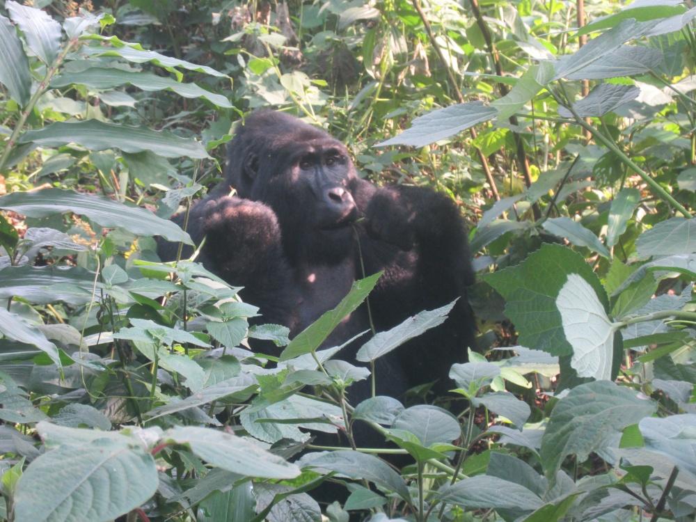 17-1-gorillaisst
